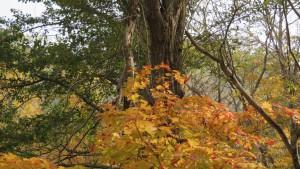 ヤマモミジの紅葉(いこいの広場)