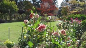 ポートランド庭園のダリア