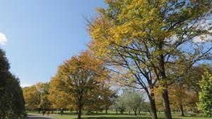 芝生広場の黄葉