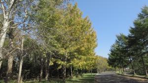 シラカバ(左)とカラマツ(右)の並木
