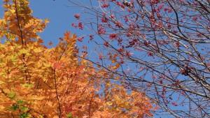 ヤマモミジの紅葉とナナカマド