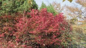 ニシキギの紅葉