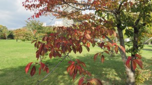 エゾヤマザクラの紅葉
