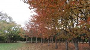 ナツツバキ(シャラノキ)の紅葉