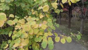 トサミズキの紅葉