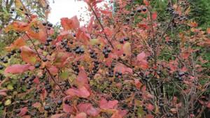 ナツハゼの実と紅葉