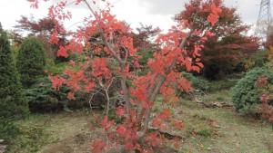 スモークツリー(ハグマノキ)