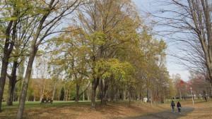 園路1(ハルニレの黄葉)