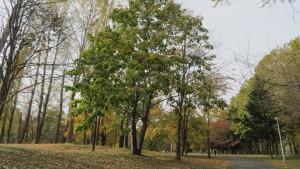 シナノキの黄葉