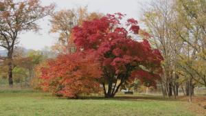 ハウチワカエデの紅葉1