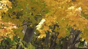 イタヤカエデの黄葉1