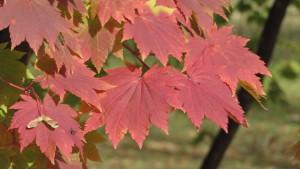 ハウチワカエデの紅葉2