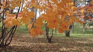 ハウチワカエデの紅葉3