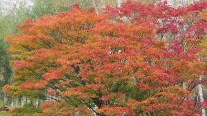 ヤマモミジの紅葉3