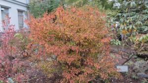 ヤマツツジの紅葉