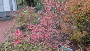 ゴトウヅル(ツルアジサイ)の紅葉