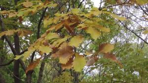 ミズナラの黄葉