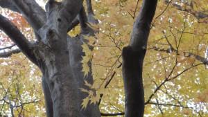 オオモミジの黄葉