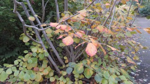 マルバマンサクの黄葉