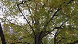 ブナの黄葉