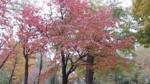 エゾヤマザクラ(オオヤマザクラ)の紅葉