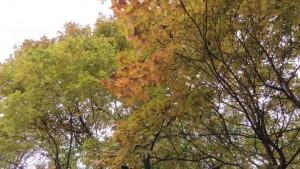 ハリギリ(センノキ)の黄葉