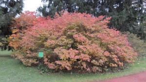 クロフネツツジの紅葉