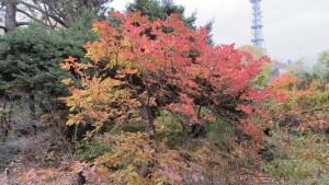 レンゲツツジの紅葉