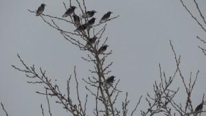 ムクドリの集団