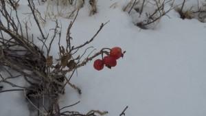 ハマナスの赤い実