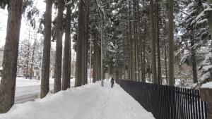 ドイツトウヒの並木
