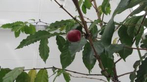 コーヒーノキの赤い実