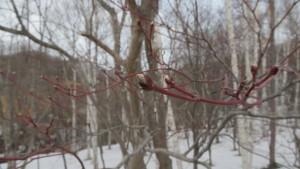 ハウチワカエデの冬芽
