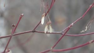 越冬したハウチワカエデの翼果