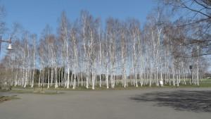 シラカバの木立