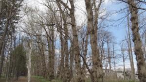 ポプラの木立