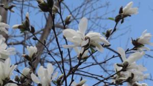キタコブシの白い花