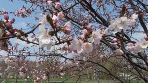豊平川桜の杜のエゾヤマザクラの花