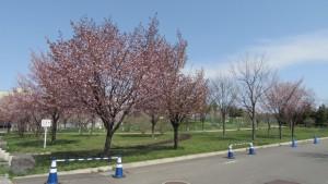 さっぽろ大地公園の桜