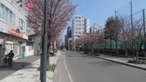 本郷通の桜並木