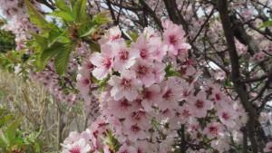 チシマザクラの花