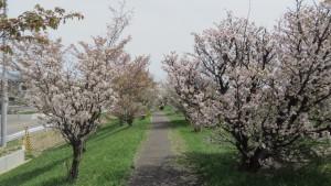 軽川桜づつみ