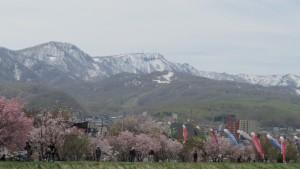 桜づつみ、鯉のぼりと手稲山を望む