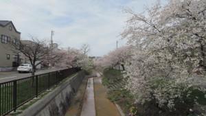 旧軽川の桜並木