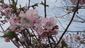 サトザクラ 'ナデン'の花