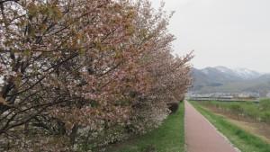 中の川桜づつみ