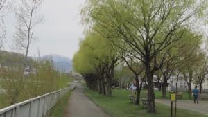 シダレヤナギの並木