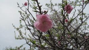 コウバイの花
