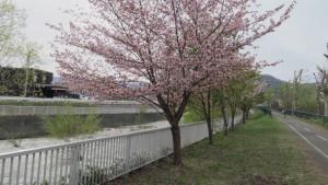 琴似発寒川沿いの桜並木