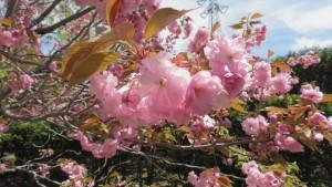 カンザンの花